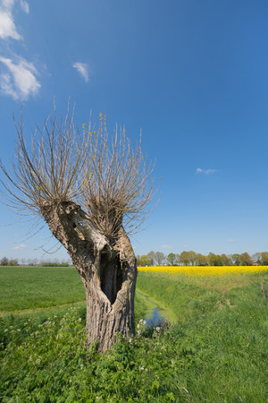 dutch typical: Typical Dutch landscape with pollard willow