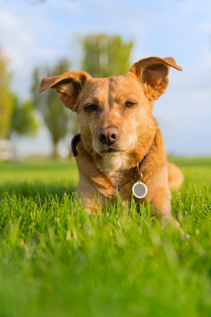 lazyness: Old dog enjoying outdoor laying in the sun Stock Photo