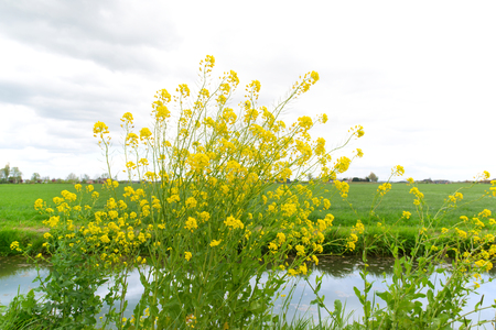 rapeseed: Yellow rapeseed in typical Dutch landscape Stock Photo