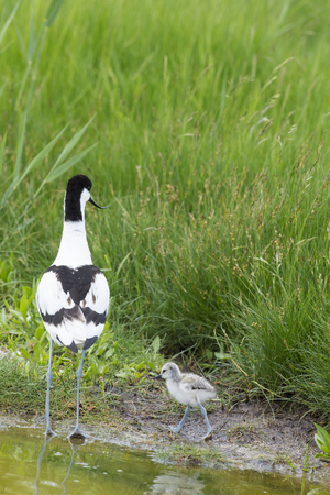 Pied avocets in spring with baby chick