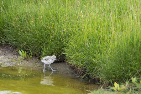 avocet: Pied avocet baby chick wading in water