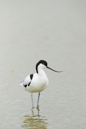 wading: Pied avocet wading in nature water