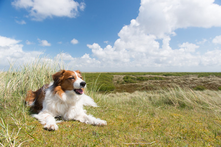 wadden: Kooikerhondje laying in landscape at Dutch wadden island Terschelling Stock Photo