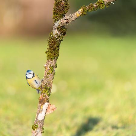 blue tit: Blue tit on tree branch in garden