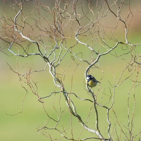 weeping willow: Great tit in spring in weeping willow