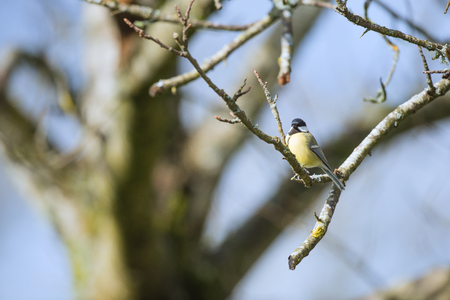 great tit: Great tit in spring in tree