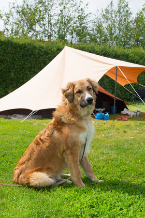campground: Dog near the tent at campground