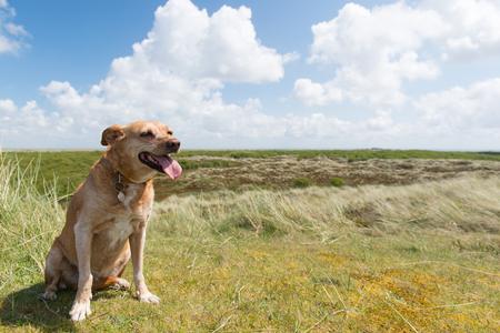 wadden: Cross breed dog sitting in landscape at Dutch wadden island Terschelling