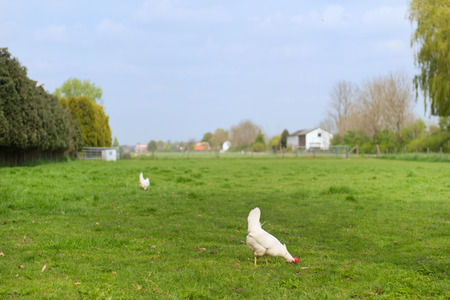 free range: Free range Rooster and chicken at the farm Stock Photo