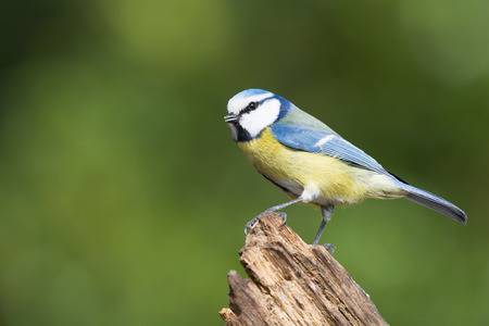 cyanistes: Eurasian blue tit in forest at tree trunk