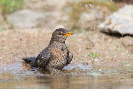 taking bath: Common blackbird taking bath in natural water Stock Photo