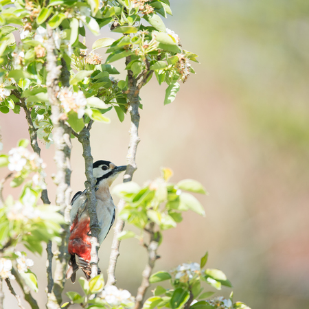 spotted: Female great spotted woodpecker in blossom tree