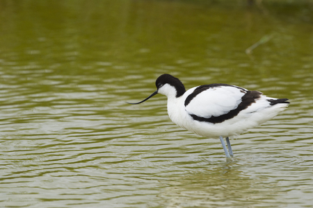 pied: Pied avocet wading in nature water