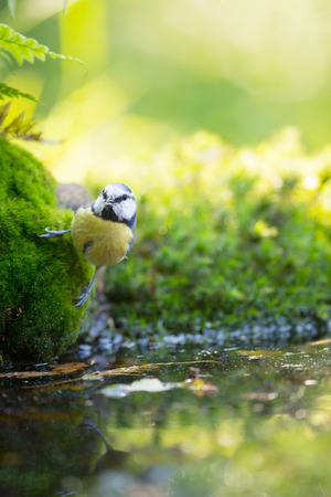 cyanistes: Eurasian blue tit in forest drinking water