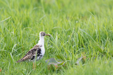 ruff: Ruff bird walking in grass