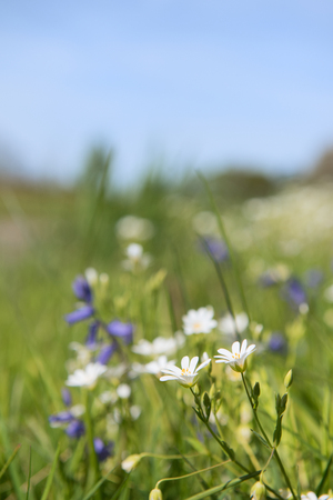 greater: greater stitchwort and blue wild flowers in nature
