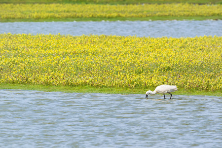 wadden: Foraging spoonbill at Dutch wadden island Texel