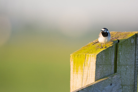 white wagtail: white wagtail on fence in the morning sun