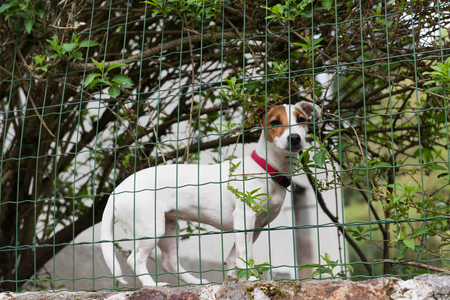 russel: Jack Russel guard dog behind fence