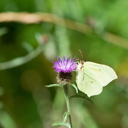 gonepteryx rhamni: common brimstone on purple Thistle flower Stock Photo