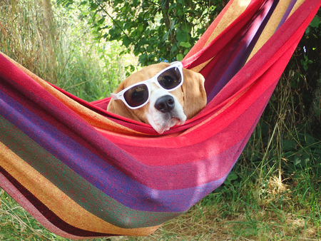 confortable: Funny dog on vacation in hammock with sunglasses Stock Photo
