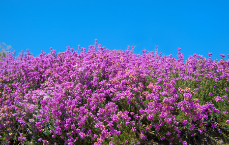 heath: Purple blooming heath with blue sky in the fields Stock Photo