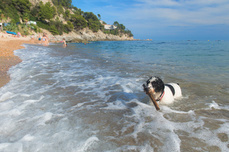 fetching: Dog playing with stick in the sea