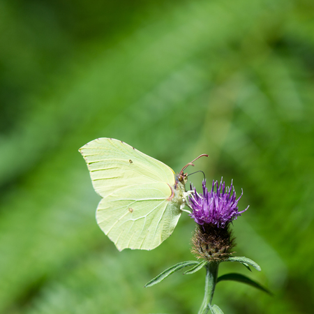 butterflies nectar: Small white butterfly on purple thistle Stock Photo