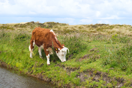 hereford: Brittain Hereford cow in Dutch landscape with dunes