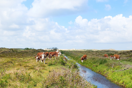 hereford: Brittain Hereford cattle with calves in Dutch landscape with dunes