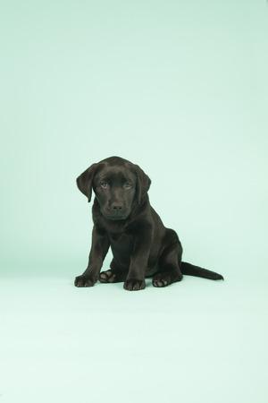chocolate labrador: Cute little Chocolate Labrador puppy on green background