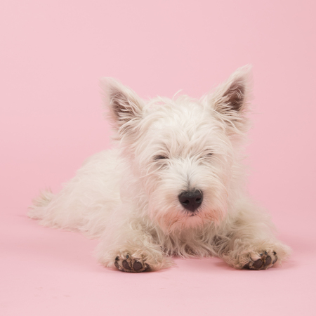 ovejitas: West Highland White Terrier o Westie o Westy