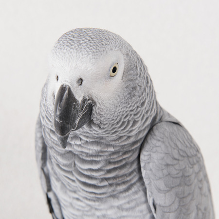 ead of Grey red tale parrot Stock Photo
