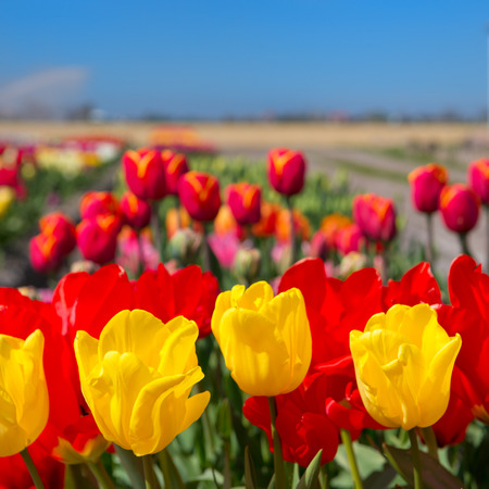 Typical landscape in Holland with flowerbulbs Stock Photo