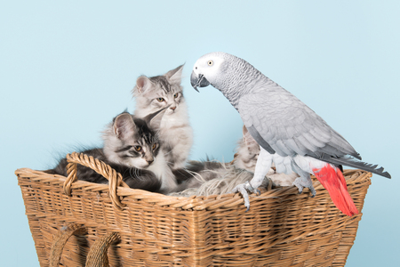 Grey red tale parrot and young maine coon kittens in basket on blue Stock Photo