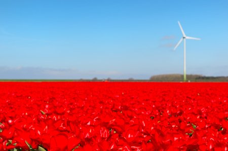 holland windmill: Landscape in Holland with flowerbulbs, red tulips and wind mill Stock Photo