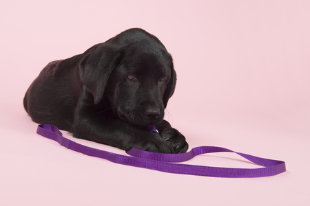 Cute little Chocolate Labrador puppy with leash on pink background Stock Photo