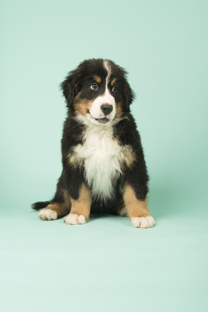 Cute little Bernese Mountain Dog puppy on green background Stock Photo