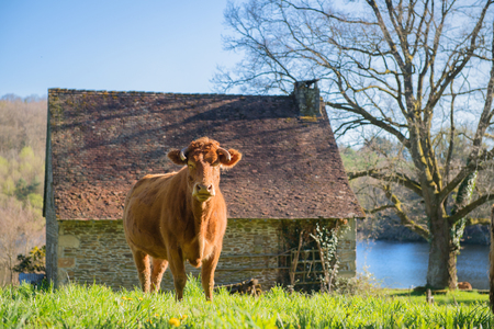 Limousin cow in green French landscape with stable and barn