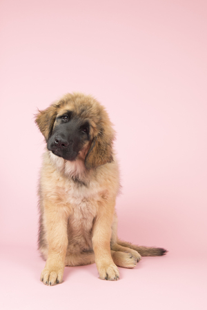 Cute Leonberger puppy on pink background Stock Photo