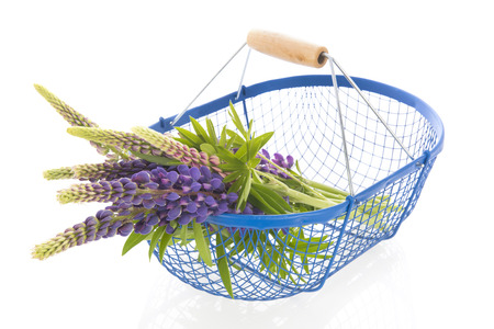 Bouquet purple Lupine in harvest basket isolated over white background Stock Photo