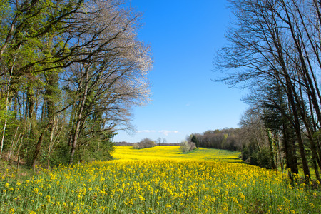 Rapeseed field in France with blossom trees Stock Photo