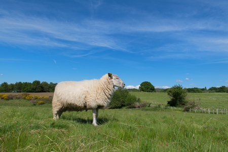 White sheep in French landscape