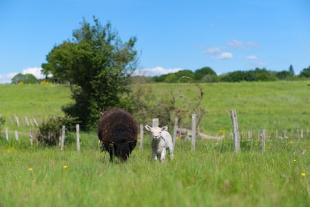 Pecora nera con giovane agnello bianco Archivio Fotografico - 80924931