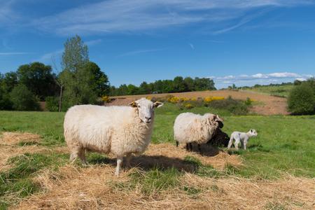 Pecore bianche con agnello bianco giovane Archivio Fotografico - 80855399