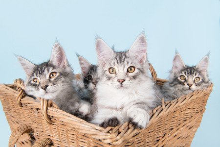 Three maine coon kittens in old vintage basket