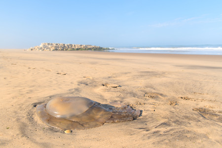 Jellyfish at beach at Atlantic ocean in France with stone surf breaker