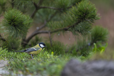 Great tit on wooden fence Stock Photo
