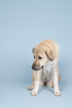 Mixed breed young dog in studio with blue background Stock Photo