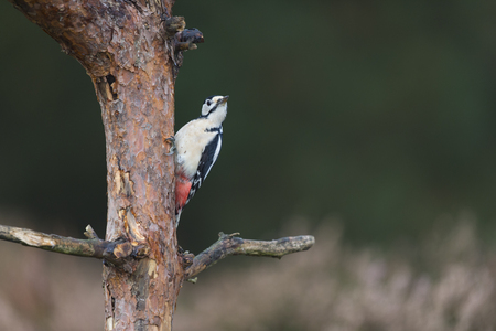 Female great spotted woodpecker on branch Stock Photo